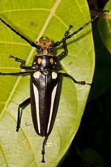 Callipogon lemoinei (Caranpaima) Tags: colombia beetle bahia escarabajo solano choco cerambycidae cucarron prioninae callipogon lemoinei biogeografico