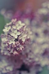 Lilacs (susivinh) Tags: flowers flores flower spring dof purple bokeh flor bouquet lilacs lilas signsofspring focus52