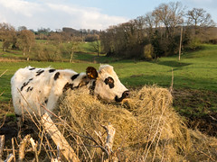 IMG_1620.jpg (Elise Swart) Tags: france animal animals landscape landscapes cow cattle cows country meadow meadows vee frankrijk hay wei paysage animaux fr campagne rund dieren bovine dier haybale weiland vache foin bovines landschap haybales vaches lafrance koe koeien normand prs platteland pr landschappen hooi melkvee ldf runderen weilanden hooibalen melkkoe hooibaal