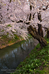 Outer Moat Cherry Blossoms Hirosaki Castle (Bridget Calip - Alluring Images) Tags: park travel pink blue red sky flower reflection tree tower castle history fall tourism nature water ecology floral beautiful japan wall gardens river season cherry landscape asian japanese grey mirror town spring scenery asia quiet silent view place natural bright blossom famous sightseeing scenic vivid landmark calm historic full aomori bloom destination environment sakura samurai blossoming hirosaki oriental clan moat eco tohoku tranquil allrightsreserved springtime copyrighted 2014 kawa secrecy watercondensation twistedtree outermoat bridgetcalip