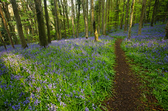 Bluebell Path (Philip Blair's Photos) Tags: county wood ireland light water bluebells nikon sigma down lee bloom filters northern 1020 narrow ulster warrenpoint d7000