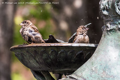 Bird Bath (P4270264) (Michael.Lee.Pics.NYC) Tags: park newyork bird fountain garden bath bokeh central conservatory sparrow burnett