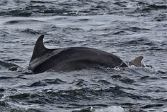 Bottlenose Dolphins (np1991) Tags: camera uk slr digital lens point islands scotland highlands nikon bigma united sigma kingdom dolphins 50500 500 dslr 50 moray firth bottlenose fortrose 50500mm chanory d7100