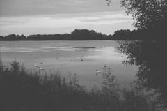 bird lake (kate gentry) Tags: trees lake birds evening swan
