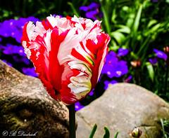 Tulpe im Tanzkleid (Fotoamsel) Tags: natur pflanzen blumen frhling tulpe niedersachsen imgarten