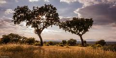 Hermanas (Le2 - www.le2.es) Tags: madrid park parque trees sunset espaa tree primavera backlight clouds contraluz landscape atardecer spring warm arboles paisaje arbres nubes soiree nuages paysage parc chaud calor lightroom holmoak encinar boadilladelmonte