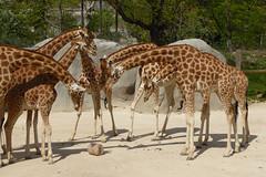 2016.05.07.028 PARIS - Zoo - Les girafes, dubitatives (in EXPLORE 10 mai 2016) (alainmichot93) Tags: paris france animal seine ledefrance boisdevincennes girafe 2016 parczoologiquedeparis paris12mearrondissement