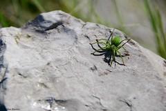 Micrommata ligurina (Mathias Dezetter) Tags: green spider verte araigne arthropode invertbr
