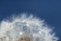 Rainy Dandelion (Fab Boone Photo) Tags: rain drop nature macro blue dandelion close closeup fabienboone fabboone