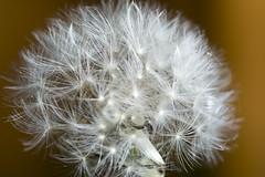 Dandelion (magicpicture.co.uk) Tags: dandelion marco 90mm macrolife macroelsalvador macrodreams dilpreetsohanpal wwwmagicpicturecouk