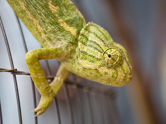 Chameleon (TeunJanssen) Tags: macro olympus cage morocco marrakech medina marrakesh chameleon omd omdem10 placesdespices
