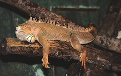 Lounge Lizard (Jay Costello) Tags: animal reptile creepy lizard spines claws