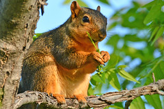 Fox Squirrel Snacking (NaturalLight) Tags: squirrel feeding eating fox kansas wichita chisholmcreekpark