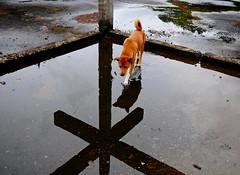 ,, Down @ the Crossroads ,, (Jon in Thailand) Tags: roof dog reflection rain nikon rocky jungle nikkor crossroads mydog k9 monsoons d300 rycooder 175528 littledoglaughedstories thedogpalace