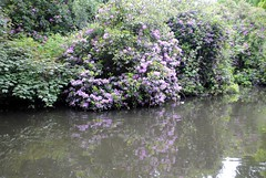Purple lake reflections (zawtowers) Tags: summer plants lake colour water june reflections walking day afternoon purple walk 5 exploring capital 4th saturday ring common stroll section feature wandsworth amble 2016 streathamcommontowimbledonpark