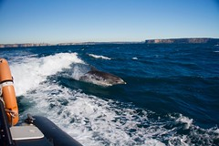 Dolphin off Manly, Sydney (IAGD+P) Tags: dolphin manly sydney whale northernbeaches