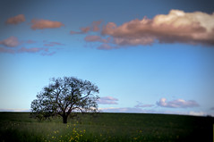 Paddock with tree (Indigo Skies Photography) Tags: sky sun colour tree grass clouds rural photography flickr farm sunny australia pasture newsouthwales colourful canola paddock nikond90 raychristy