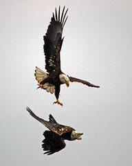 Dueling Eagles (Windows to Nature) Tags: bird nikon ngc iowa npc raptor mississippiriver eagles baldeagles leclaire specanimal d7000 sigma150500mmos thewonderfulworldofbirds ld14 windowstonature windowstonaturecom