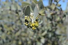 Jojoba flowering. (theforestprimeval) Tags: san pedro martir