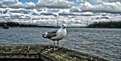 Ambleside Gull ('Dazza' Quarin...putting the camera away) Tags: canada britishcolumbia seagull stanleypark lionsgatebridge westvancouver amblesidepark