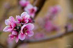 Spring (Jeffrey_Huang) Tags: pink flowers flower tree nature beautiful fruit spring branches fresh beginning springhassprung almostsummer ourdailychallenge