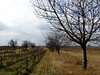 wineyard (montnoirat) Tags: reed canon see rust burgenland schilf georg neusiedlersee weinbau neusiedler g9 schwarzenberger canong9 georgschwarzenberger