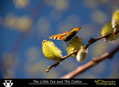 The Little Fox and The Catkin (Pyranha Photography | 300k views - THX) Tags: canon butterfly photography eos austria sterreich google flickr little images krnten carinthia pi ren fox getty plus catkin kleiner fuchs gettyimages schmetterling facebook littlefox kleinerfuchs pyranha twitter palmktzchen radenthein 60d mygearandme pyranhaphotography googleplus