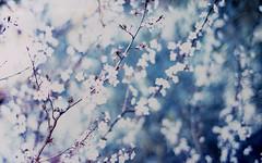 Satan's spell (O9k) Tags: flowers tree analog 35mm 50mm fuji blossom bokeh branches almond velvia bloom 17 zenit ttl analogue 135 slides fujichrome e6 russiancamera russianlens zenitarm olivella sovietcamera sovietlens