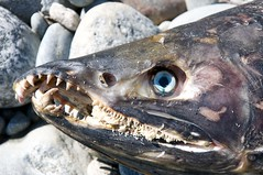 Eyes still there (Sam Beebe, Ecotrust) Tags: carcass slamon tsaytisriver kitlope2011trip