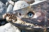 Eyes still there (Sam Beebe) Tags: carcass slamon tsaytisriver kitlope2011trip