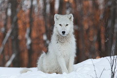 ARTIC WOLF  -  LOUP ARCTIQUE (SergeK ) Tags: winter canada cold animal gris islands quebec timber
