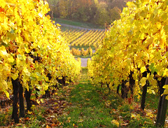 Autumn Vineyard (Habub3) Tags: park travel autumn holiday green fall texture nature colors leaves lines yellow forest canon germany garden landscape deutschland gold vineyard europa europe stuttgart urlaub herbst natur vine powershot gelb grn blatt landschaft wald garten bunt vacanze 2012 reise wein farben weinberg g12 rotenberg remstal habub3 mygearandme