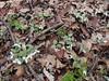 Snow Trillium (Trillium nivale) (Aeranthes) Tags: trillium nivale snowtrillium trilliumnivale minnesotawildflowers