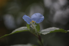 BLUE FLY (Bruno Tetto) Tags: auto blue brazil flower macro green nature closeup brasil garden prime bokeh d natureza flor curitiba jardim m42 tele parana 135mm macrophoto f35 porst vintagelens brunotetto lensprime porstlens porstm42