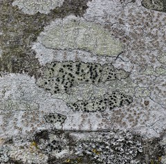 Lichen Map (RiverCrouchWalker) Tags: winter tree garden map bark lichen essex boundaries rhs hydehall fruitful mutedtones rettendon
