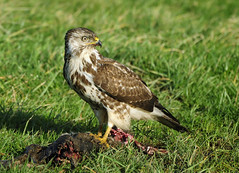 Very hungry Buzzard - Explored - (Wouter's Wildlife Photography) Tags: ngc zeeland raptor birdsofprey buteobuteo buizerd commonbuzzard roofvogel avianexcellence mygearandme mygearandmepremium mygearandmebronze mygearandmesilver ringexcellence blinkagain dblringexcellence tplringexcellence bestofblinkwinners allofnatureswildlifelevel1 allofnatureswildlifelevel2 explorefebruary17th2012