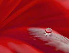 A delicate droplet (Gemma~A Passionate Photographer) Tags: red flower feather drop refraction waterdroplet piuma