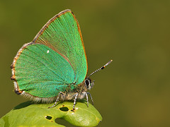 Green Hairstreak (nigel kiteley2011) Tags: butterflies greenhairstreak