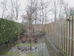 Een van de vele sneeuwbuien vandaag (Dimormar!) Tags: winter snow bird garden rotterdam sneeuw tuin vogel merel hoogvliet sneeuwbui