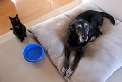 Mascotitas (A30_Tsitika) Tags: dog pets cat blackcat chelsea luna perro gato blacklab mascotas