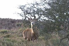 yep - he's definitely seen us now! (devonteg) Tags: wild morninglight nikon stag heather antlers grasses february uncropped reddeer hawthorn 2012 exmoor 70300 d80 220mm whortleberries dickyspath deerstalkingwithabordercollie
