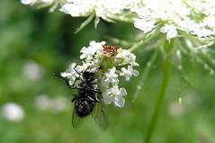 Lunch on the Fly (mudder_bbc) Tags: bokeh flies queenanneslace predators predation ambushbugs jaggedambushbugs