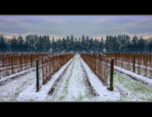 [ snow upon the raspberry vines ] EXPLORED !!! Woo Hoo !!!
