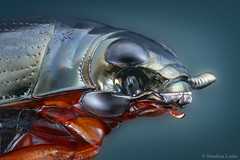 Whirligig beetle / Taumelkfer (Matthias Lenke) Tags: macro water up swimming compound eyes wasser close head metallic beetle organ makro microscope auge antenne divided antennae johnston kfer whirligig kopf mandible coleoptera mikroskop elytra adephaga gyrinidae natator komplexauge johnstons macrolife gyrinus taumelkfer