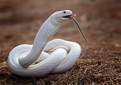 white snake (shikhei) Tags: specanimal specialpicture
