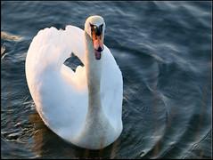 Un cisne de lo ms amistoso... (RosanaCalvo) Tags: espaa animal atardecer europa animales cisne cantabria astillero marismas
