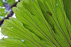 Staghorn leaf (Deb Jones1) Tags: macro green texture nature beauty leaves canon garden botanical outdoors leaf flora textures flickrduel debjones1
