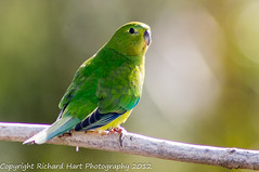 Orange-bellied Parrot - Critically Endangered (SillyOldBugger (in and out of internet range)) Tags: wild bird australian parrot australia aves tasmania handheld endangered avian melaleuca wildbird iucn southwestnationalpark criticallyendangered redlist iucnredlist neophemachrysogaster orangebelliedparrot minolta3004hsg wildbirdaustralia minolta300f4hsglens sony14apoteleconverter a55birdingrig