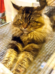 Sphinx (Christiane Marilou) Tags: animal animals race cat kat chat gato katze gatto felin kowka kyatto