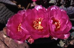 Three Cactus Flowers (April 2002) (nbg90455) Tags: flowers arizona cactus zeissikon pricklypear ektachrome e100vs mjb carlzeiss contaflex tessar proxar kokak